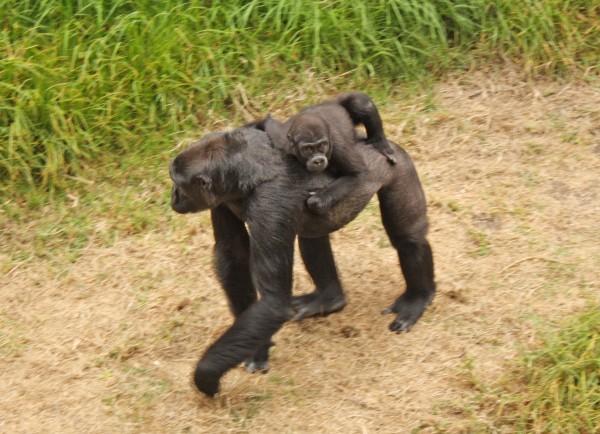 gorilla, baby gorilla, hasani, zoo, san francisco zoo, san francisco, california