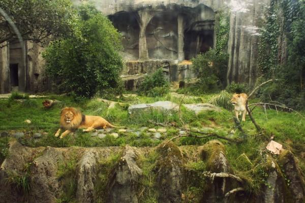 lion, african lion, male lion, female lion, enclosure, zoo, san francisco zoo, san francisco, california