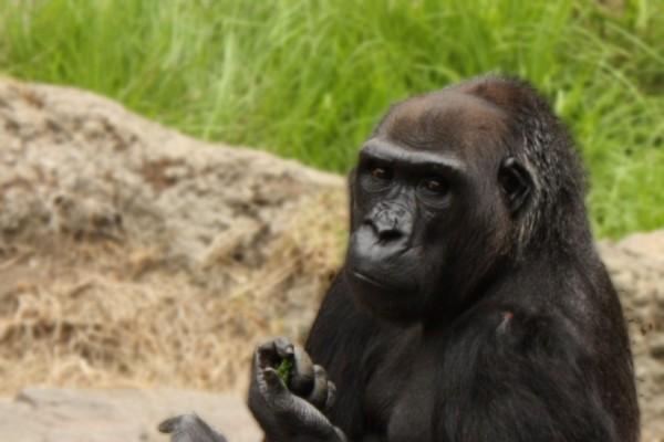 gorilla, zoo, san francisco zoo, san francisco, california