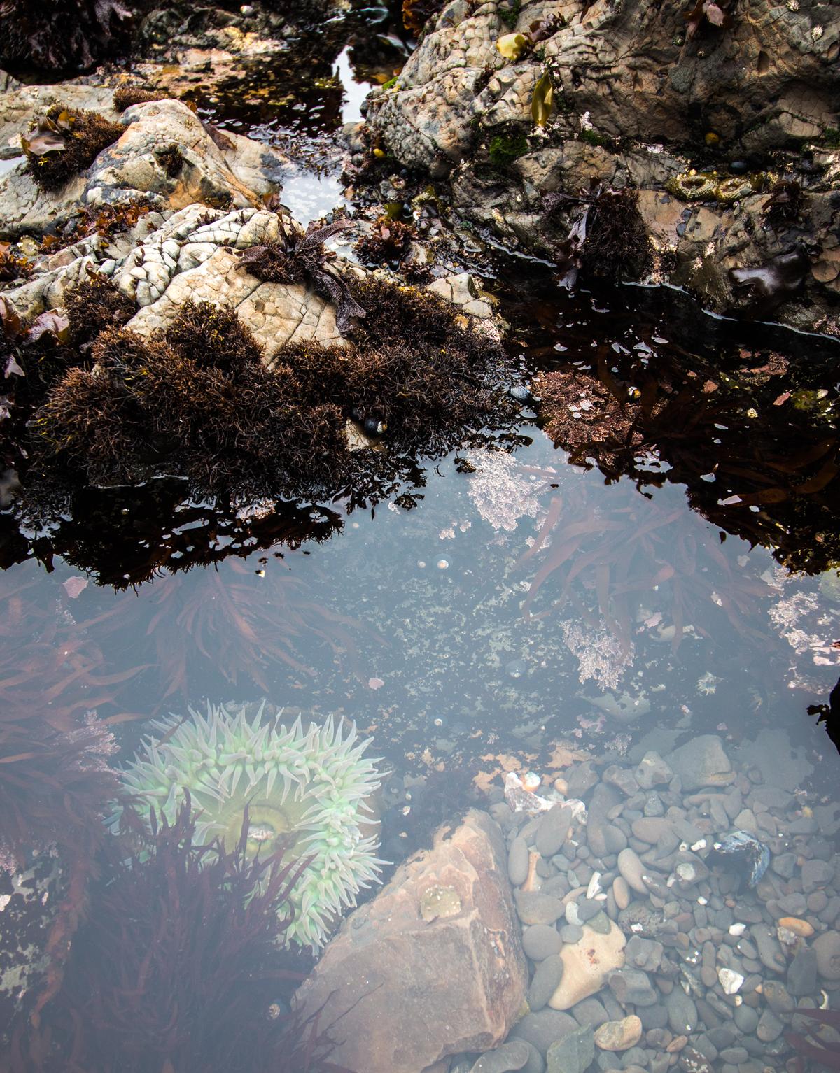 giant_green_anemone