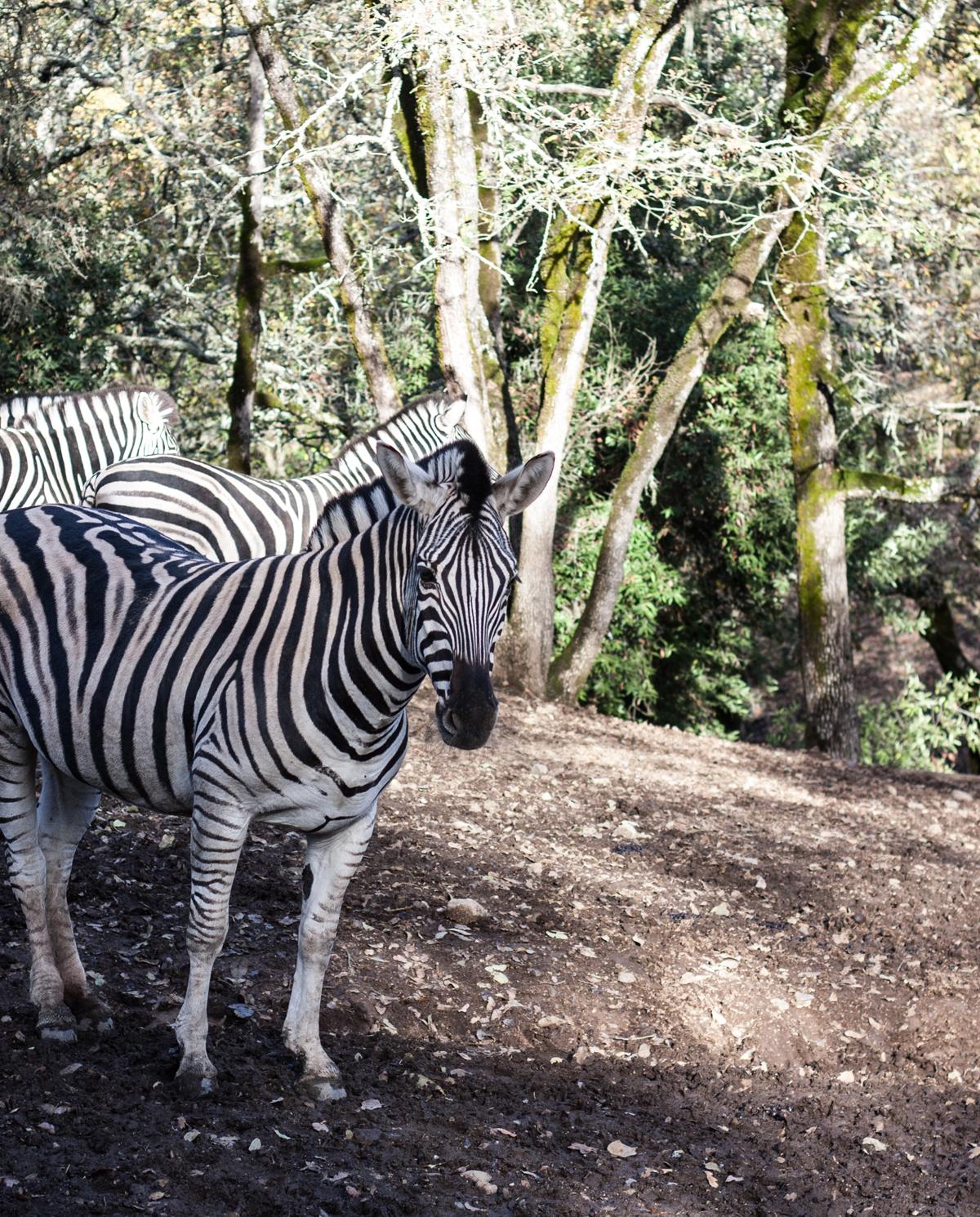 zebras_safari_west
